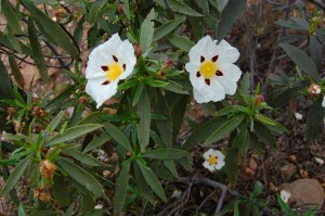 picture of white flowers with yellow and red centres
